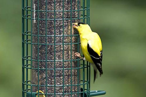 Squirrel Finch Wild 4 Metal 8 Feeding Thistle/Nijer