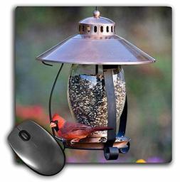 Northern Cardinal on copper lantern hopper bird feeder, Mari